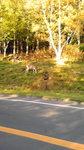 あちらこちらに鹿さんたちが知床だからしかたがないね(笑)